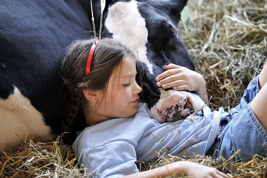 Kaitlyn Stoltfus, 9, of Berlin, takes a nap with her cow Lulu at the Somerset County Fair in Meyersdale, Pennsylvania on Tuesday, Aug 20, 2013. See more pictures from around the world in Through The Lens' Today in Pictures. -- PHOTO: AP