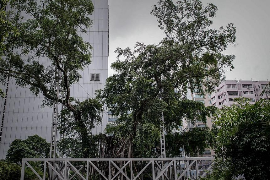 A 400-year-old banyan tree in Hong Kong (above) will be cut down, authorities said on Friday, Aug 23, 2013, after being hit by a fungal disease brought on when a park development starved its roots of oxygen and nutrients. -- PHOTO: AFP