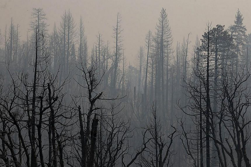 Trees burned by the Rim Fire are seen at Camp Mather on Aug 23, 2013 near Groveland, California. -- PHOTO: AFP