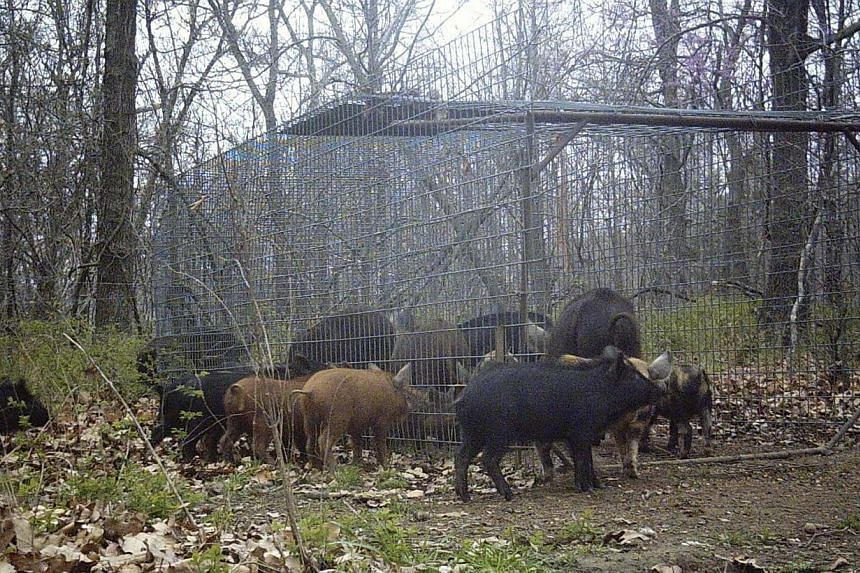 Feral hogs move in and around a trap set by farmer Jim Vich near Locust Grove, Oklahoma, in this March 30, 2011, handout surveillance camera photo courtesy of Mr Vich.Oklahoma is battling a wild pig problem that has spread across the United Sta