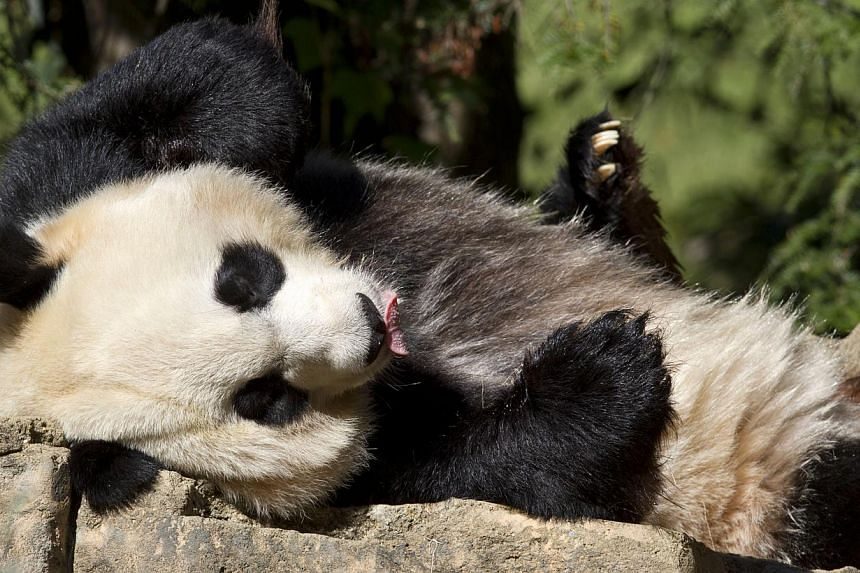 Mei Xiang, a giant female panda, rests at the National Zoo in Washington on Oct 11, 2012. -- FILE PHOTO: AP