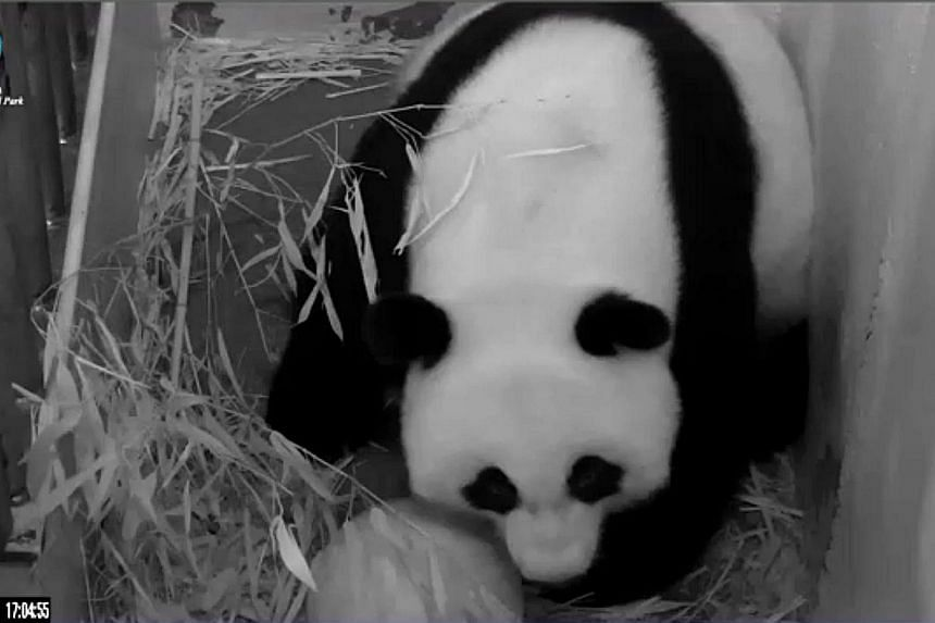 This still image from the PandaCam at the Smithsonian National Zoo in Washington, DC, shows giant panda Mei Xiang on Aug 23, 2013. Mei surprised its keepers by giving birth to a stillborn cub at the Smithsonian National Zoo in Washington on Saturday