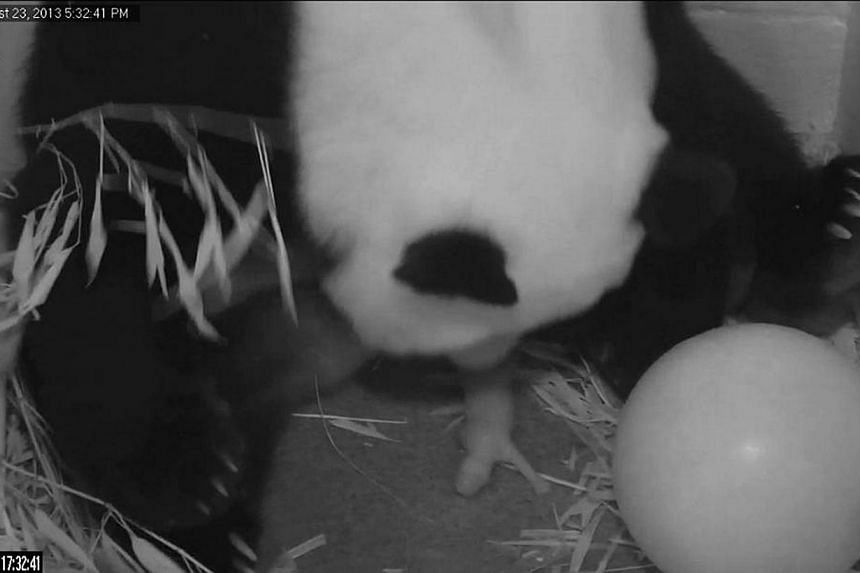 In this image from video provided by the Smithsonian National Zoo, Mei Xiang gives birth to a cub two hours after her water broke on Aug 23, 2013, at the National Zoo in Washington.Mei surprised its keepers by giving birth to a stillborn cub at