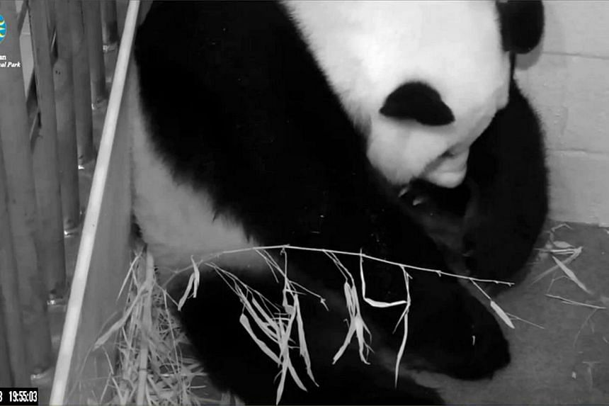 This still image from the PandaCam at the Smithsonian National Zoo in Washington, DC, shows Giant Panda Mei Xiang on Aug 23, 2013, after the zoo announced the panda panda gave birth to a cub, rasing hopes for a rare success after a series of false pr