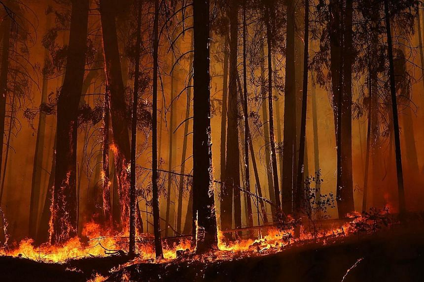 Flames from the Rim Fire consume trees on Aug 25, 2013 near Groveland, California. The Rim Fire continues to burn out of control and threatens 4,500 homes outside of Yosemite National Park. Over 2,000 firefighters are battling the blaze that has ente