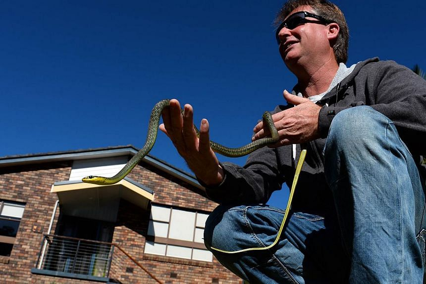 Snake catcher Andrew Melrose holds a green tree snake he recovered from a house in Sydney on Aug 5, 2013.They are the nightmare tenants who can live undetected alongside Australian families for years: the world's deadliest snakes. -- FILE PHOTO