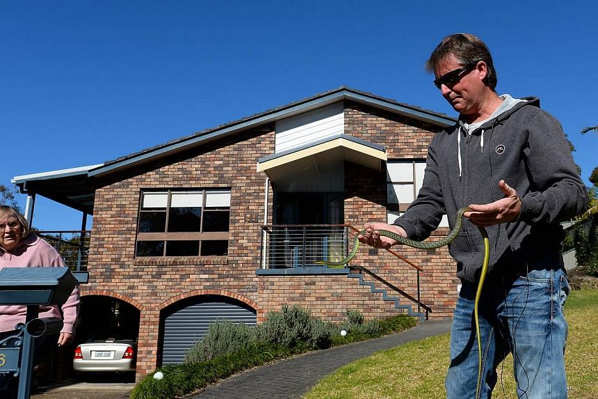 Snake catcher Andrew Melrose (right) holds a green tree snake he recovered from a house in Sydney on Aug 5, 2013.They are the nightmare tenants who can live undetected alongside Australian families for years: the world's deadliest snakes. -- FI