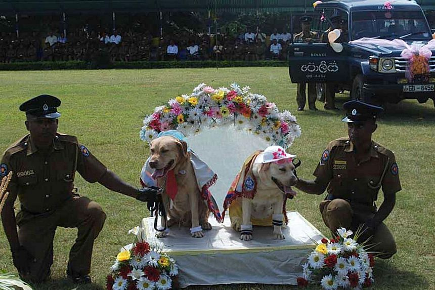 """Sri Lanka police hold a pair of sniffer dogs at a mass """"wedding"""" of police dogs in the central Sri Lankan town of Kandy on Monday, Aug 26, 2013. Sri Lanka's cultural affairs ministry has taken strong exception to the """"wedding"""", which used symbols of"""