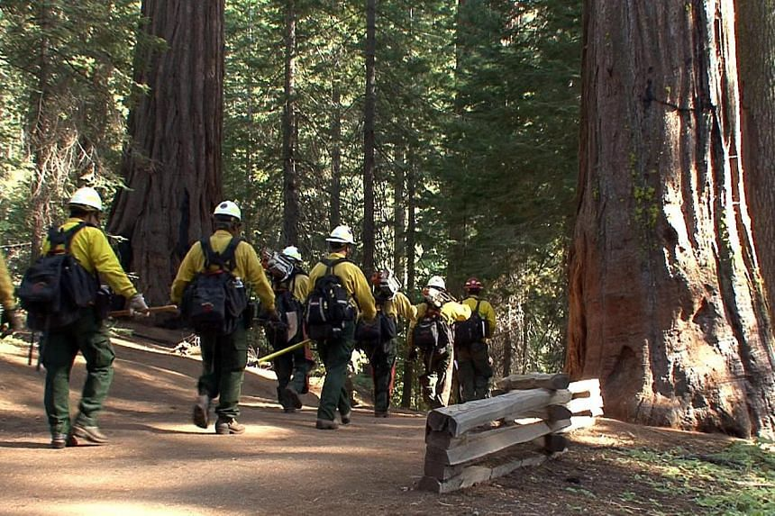 Firefighters enter a grove of giant sequoias in Yosemite National Park in this photo made on Sunday, Aug 25, 2013, and released by the National Park Service on Aug 27. The wildfire threatening Yosemite National Park grew on Tuesday to become the seve