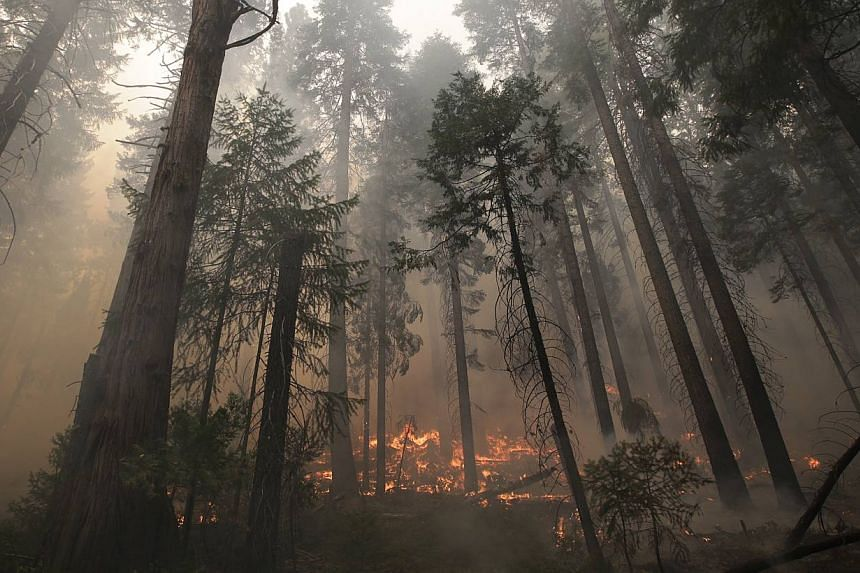 The Rim Fire burns through trees near Yosemite National Park, California, on Aug 27, 2013. The wildfire threatening Yosemite National Park grew on Tuesday to become the seventh biggest ever in California, as firefighters battled to keep ash from cont