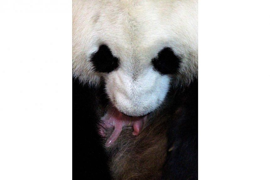 Giant panda mum Hua Zui Ba holds its new born cub at the Zoo in Madrid on Friday, Aug 30, 2013. The mother panda delivered the cub at the Zoo Aquarium de Madrid after a gestation lasting 131 days-- PHOTO:AFP / ZOO AQUARIUM DE MADRID/ GUST