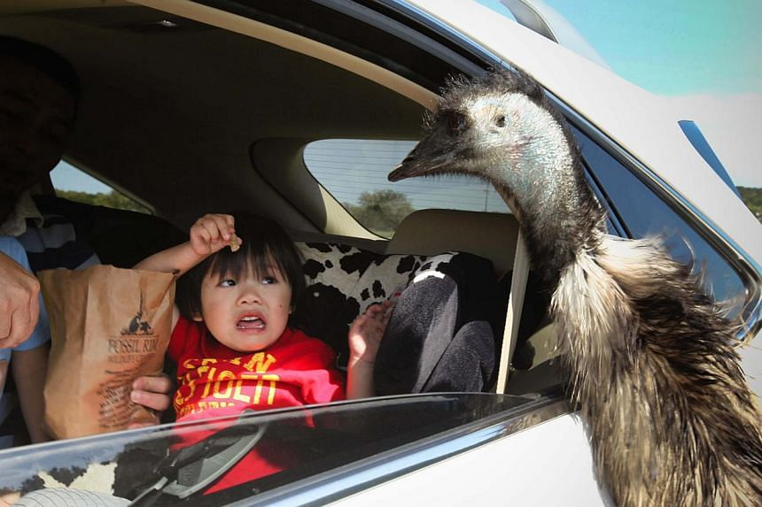 On a drive-through safari in Texas, USA, three-year-old Rykel Law wants to feed an emu. After his father winds down the car window, he changes his mind. This photo was one of the merit winners in The Straits Times' Wherever You Are photo contest. --