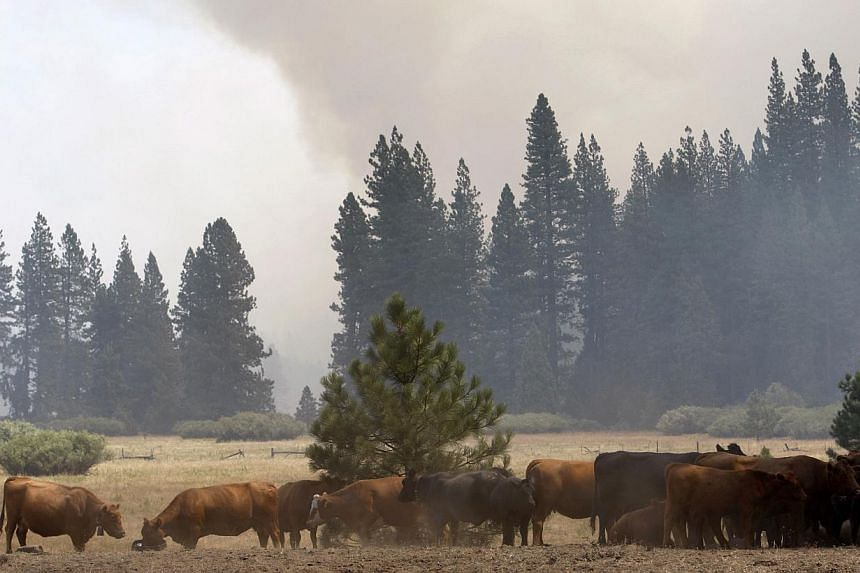 Smoke rises from a fire approaching through the forest near cattle at the Rim Fire just outside of Yosemite National Park, California, on Aug 28, 2013. One of the largest California wildfires on record roared deeper east into Yosemite National Park o