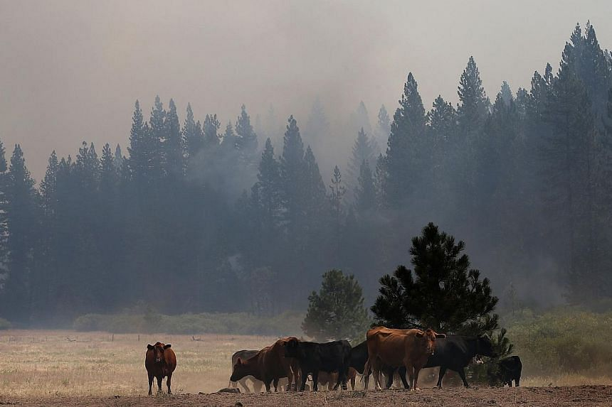 Cows graze in a field as the Rim Fire burns in nearby hills on Aug 28, 2013 near Groveland, California. Over 3,500 firefighters are battling the destructive Rim Fire that has charred 180,000 acres and has entered a section of Yosemite National Park.