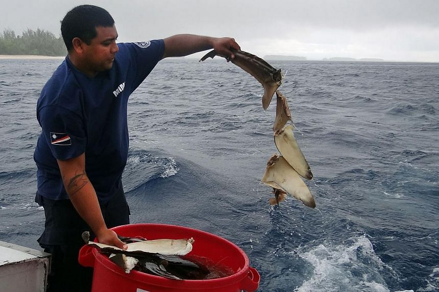 Mr Kyle Aliven, an officer of Marshall Islands Marine Resources Authority (Mimra), disposes of shark fins into the sea in Majuro on Sept 3, 2013. The Marshall Islands symbolically disposed of confiscated shark fins at sea on Tuesday in a ceremony wit