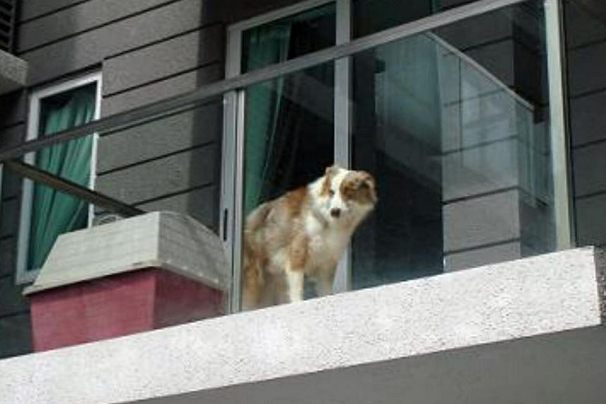 A man who left his dog to suffer by confining it in his apartment balcony has been fined $5,000 for animal cruelty. -- PHOTO:SPCA