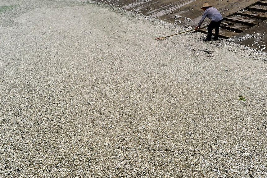 A resident clears dead fish from the Fuhe river in Wuhan, in central China's Hubei province on Sept 3, 2013 after large amounts of dead fish began to be surface early the day before. A Shenzhen-listed company identified by authorities as being respon