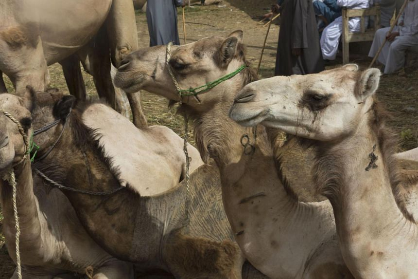 Camels rest during a weekly camel market in Birqash, Egypt. Scientists have found a clue that suggests camels may be involved in infecting people in the Middle East with the MERS virus. Two women have died of the coronavirus MERS in Saudi Arabia