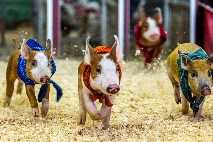 Pigs compete in a race at the Los Angeles County Fair 2013 in Pomona, California on Sept 4, 2013. See more pictures from around the world in Through The Lens' Today in Pictures. -- PHOTO: AFP