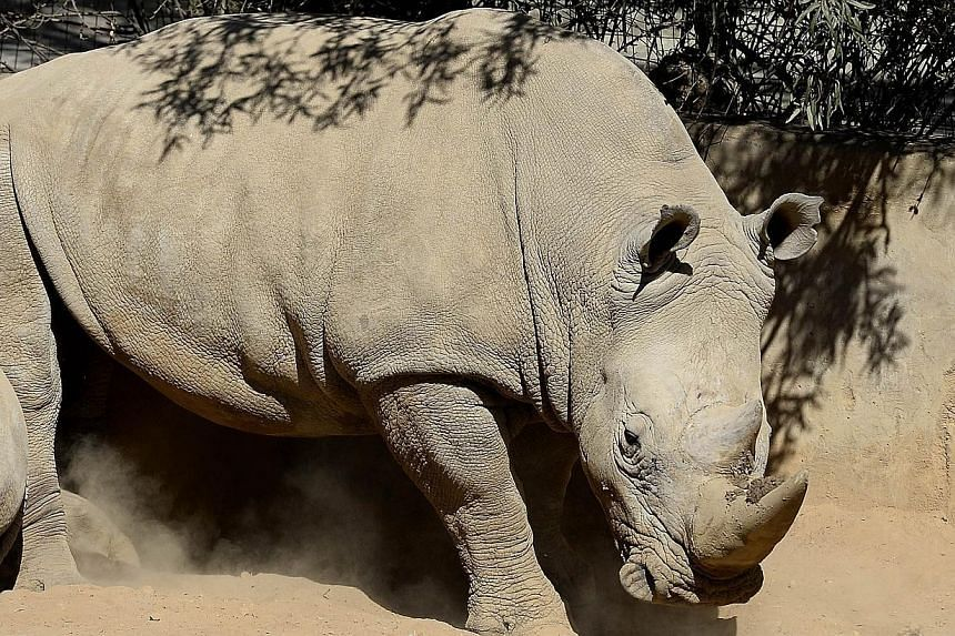 This picture taken on July 25, 2013 shows a white rhino at the Johannesburg Zoo. The last remaining species of rhinoceros that is not endangered will receive new US protection due to an intensifying poaching crisis, federal wildlife officials said Tu