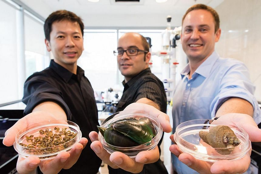 (From left) A*STAR'sDr Shawn Hoon, NTU Assistant Professor Ali Miserez and Dr Paul Guerette hold squid ring sucker teeth, mussels and a sea snail in a petri dish. New and hardy biomaterials, that are stronger than most plastics, are coming from