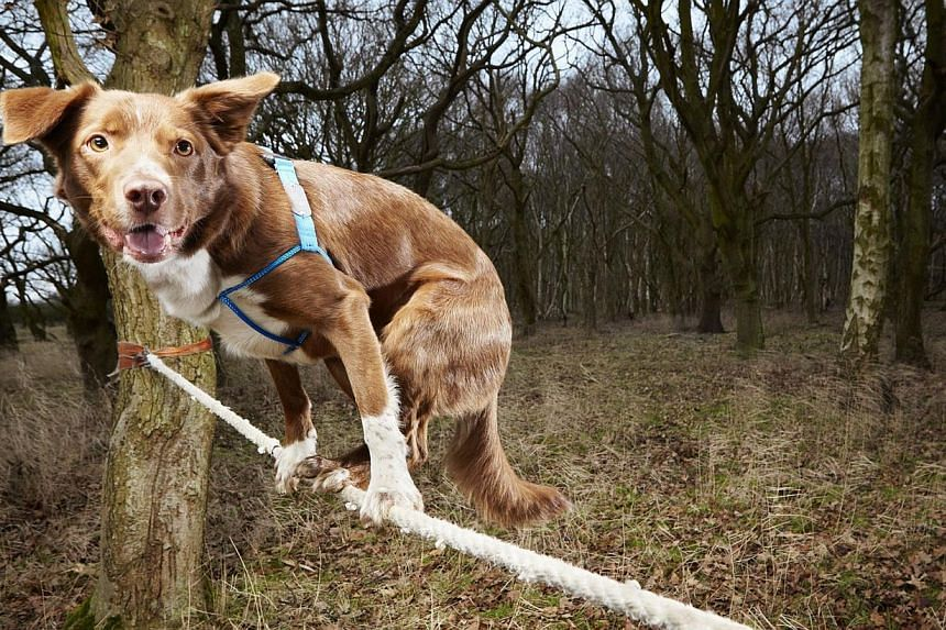 A British dog named Ozzy holds the world record for thefastest crossing of a tightrope by a dog.-- PHOTO: AFP / GUINNESS WORLD RECORDS / PAUL MICHAELHUGHES