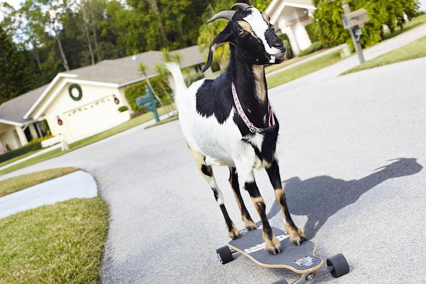 US goat Happie stands on a skateboard. -- PHOTO: AFP / GUINNESS WORLD RECORDS
