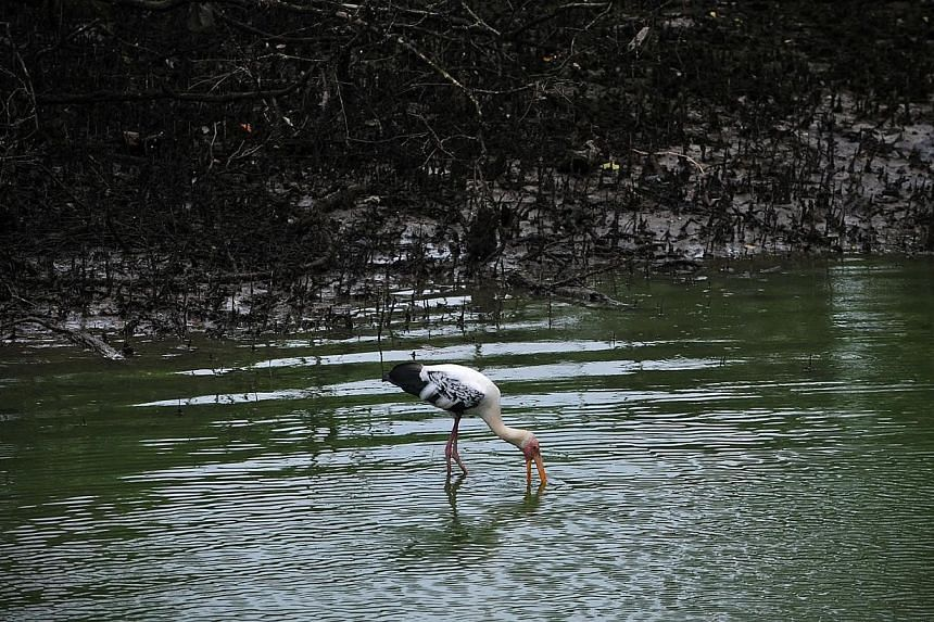 Birds feeding at the water's edge in a mangrove along the Kranji Nature Trail at the Sungei Buloh nature reserve.A new index that measures the sustainable development of countries around the world has recognised Singapore's efforts to improve i