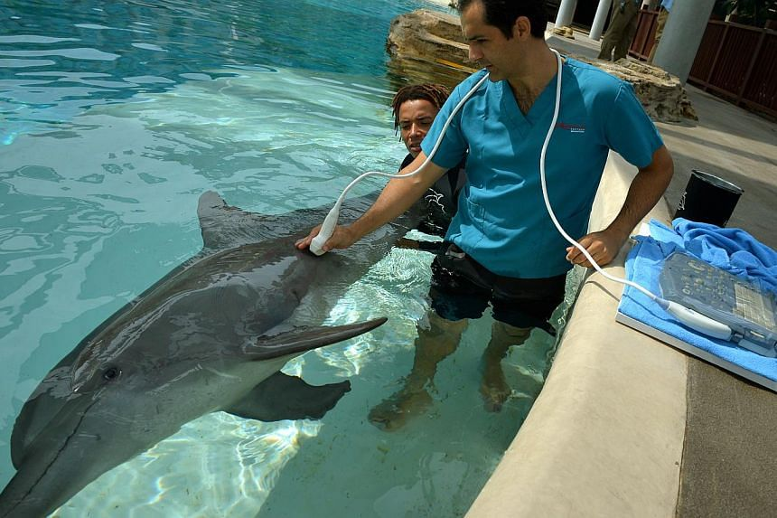 Dr Alfonso Lopez, chief veterinarian at the Resorts World Sentosa's Marine Life Park, examining a dolphin with a trainer's help. -- ST PHOTO:KUA CHEE SIONG