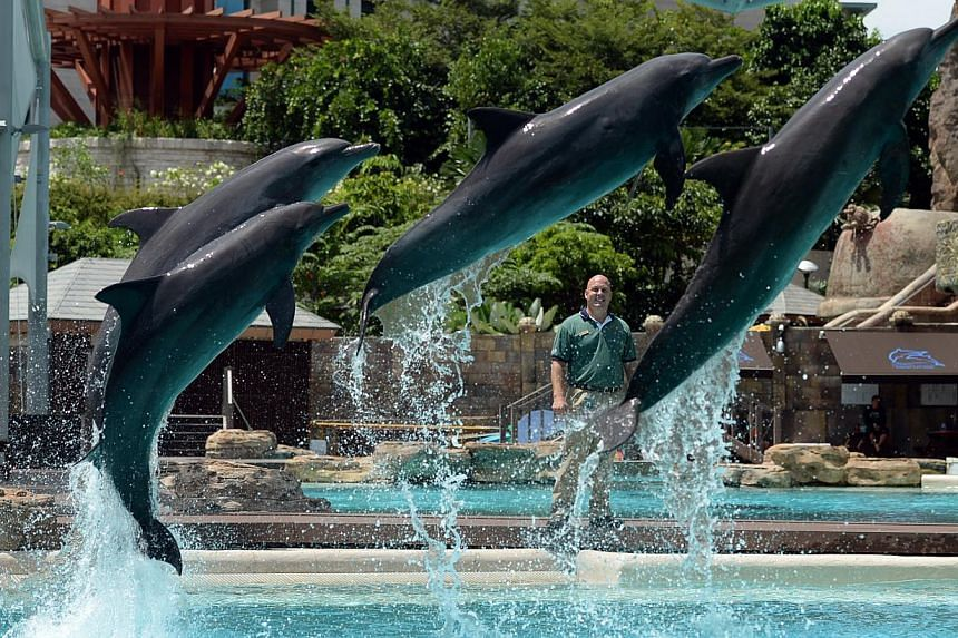 Andrew Schleis, assistant director of marine mammal operations at Marine Life Park, Resorts World Sentosa, looks as the dolphins sail through the air. -- ST FILE PHOTO: JOYCE FANG