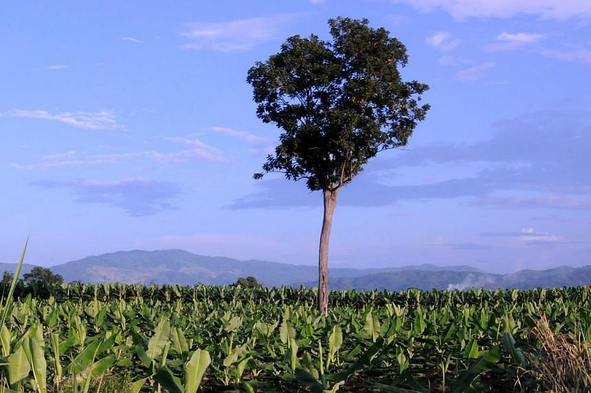 A Chinese banana plantation in Bokeo. The Chinese have long leases on gold and copper mines, as well as rubber, cassava, sugar cane, eucalyptus and banana plantations in Laos.