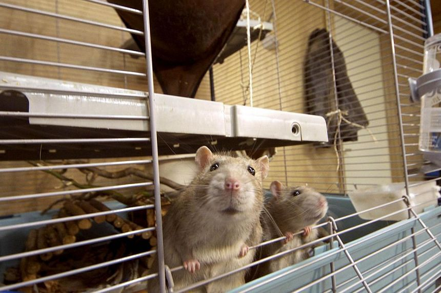 Rats stand in their cage in the premises of the Dutch police in Rotterdam, on Sept 18, 2013. -- FILE PHOTO: AFP