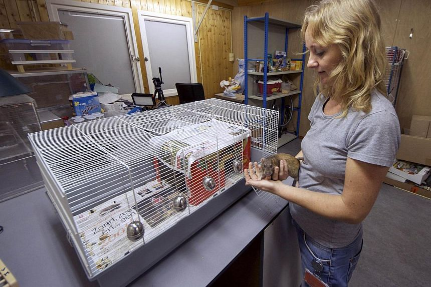 Dutch police inspector Monique Hamerslag holds a rat in the premises of the Dutch police in Rotterdam, on Sept 18, 2013.-- FILE PHOTO: AFP