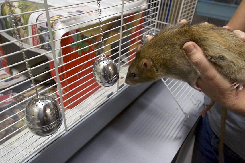 A rat smells a tea ball infuser in the premises of the Dutch police in Rotterdam, on Sept 18, 2013. -- FILE PHOTO: AFP