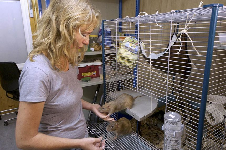 Dutch police inspector Monique Hamerslag feeds rats in the premises of the Dutch police in Rotterdam, on Sept 18, 2013. The latest species to join Dutch police is hard at work behind the blacked-out windows of a building in Rotterdam: learning to sni