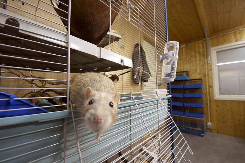 A rat gets out of its cage in the premises of the Dutch police in Rotterdam, on Sept 18, 2013. The latest species to join Dutch police is hard at work behind the blacked-out windows of a building in Rotterdam: learning to sniff out crime and a new fo