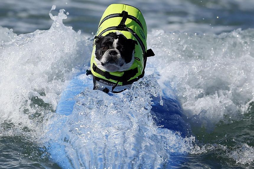 A dog competes in the Surf City surf dog competition in Huntington Beach, California on Sunday, Sept 29, 2013. -- PHOTO: REUTERS