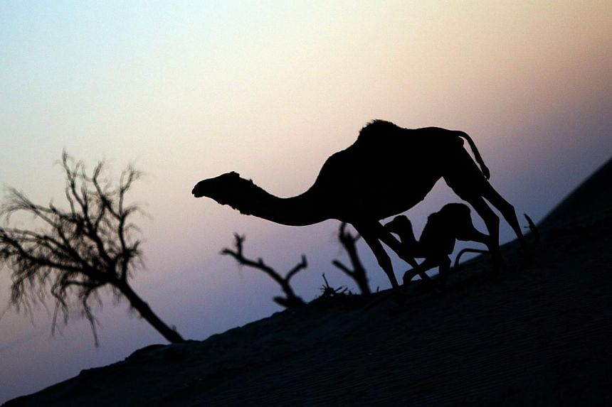 A camel and its calf are seen during sunset at a camel farm in Abu Dhabion Sept 16, 2013.-- FILE PHOTO: AFP