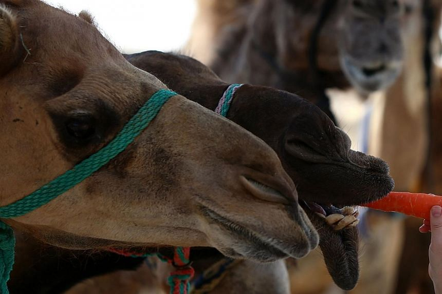 A camel eats a carrot at a farm in Dubai specialising in producing camel milk on Sept 19, 2013.-- FILE PHOTO: AFP
