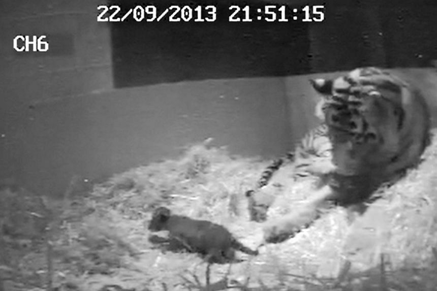 This image from video taken on Sunday, Sept 22, 2013, and made available by London Zoo on Tuesday, Oct 1, 2013, shows the first tiger cub for 17 years to be born at the zoo.A tiger cub has been born at London Zoo for the first time in 17 years,