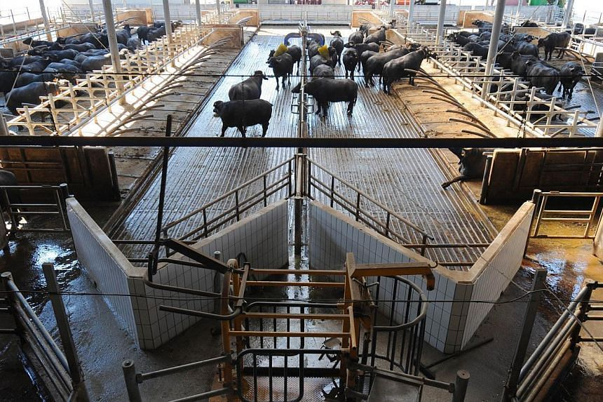 Water buffaloes are pictured at the Tenuta Vannulo dairy farm in Capaccio on Sept 3, 2013. Half-tonne black water buffaloes at Tenuta Vannulo spend their days lounging on rubber mattresses, munching on organic hay or looking forward to vaporised show