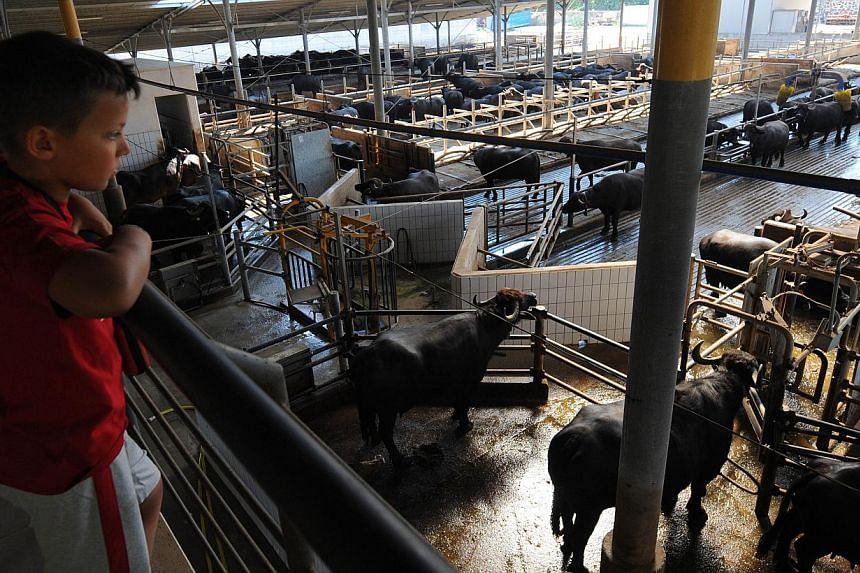 A boy looks at water buffaloes at the Tenuta Vannulo dairy farm in Capaccio on Sept 3, 2013. Half-tonne black water buffaloes at Tenuta Vannulo spend their days lounging on rubber mattresses, munching on organic hay or looking forward to vaporised sh