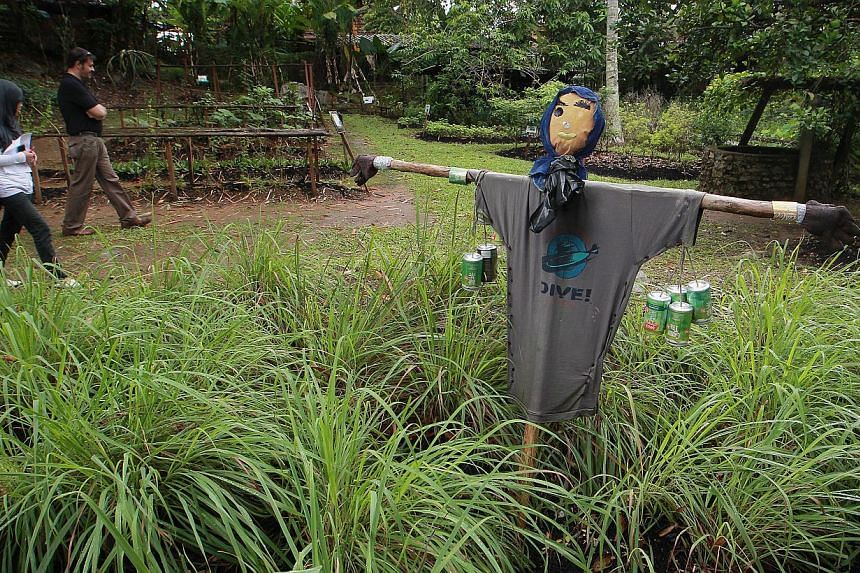 A scarecrow seen among a patch of lemon grass (cymbopogon citratus) grown in the vegetables, herbs and spices garden in Pulau Ubin on Oct 2, 2013. -- ST PHOTO: NEO XIAOBIN