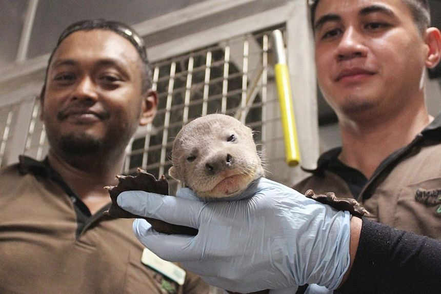 More than 400 animal babies were born in Wildlife Reserves Singapore's (WRS) four parks between January and August this year, including Asia's first giant river otter baby.-- PHOTO: WILDLIFE RESERVES SINGAPORE