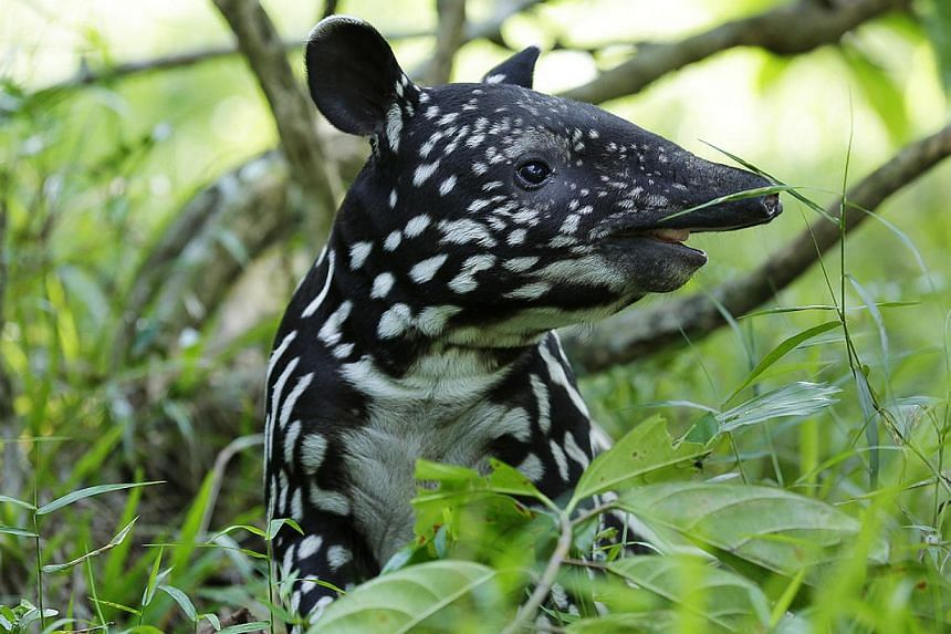 Malayan tapir Putri, born on June 3, 2013, enjoys her forest floor playtime at Night Safari. The Malayan tapir is one of the most endangered animals in Southeast Asia. Populations are declining due to poaching and habitat loss from deforestation for