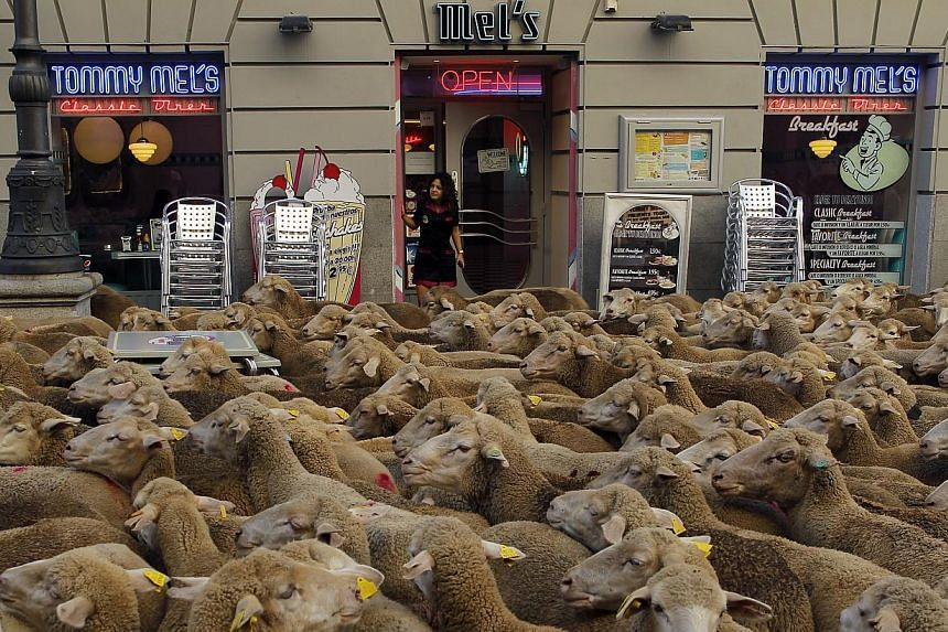 A waitress looks on from a shop as shepherds, unseen, lead their sheep through the centre of Madrid, Spain, Sunday, Oct. 6, 2012. Spanish shepherds led flocks of sheep through the streets of downtown Madrid in defense of ancient grazing, migration an