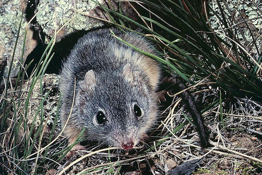 This undated handout photo released by the University of Queensland in Australia on Tuesday, Oct 8, 2013, shows the rodent-like animal Antechinus Flavipes, oneof a small number of mammals which die after mating.Mating is such an arduous a
