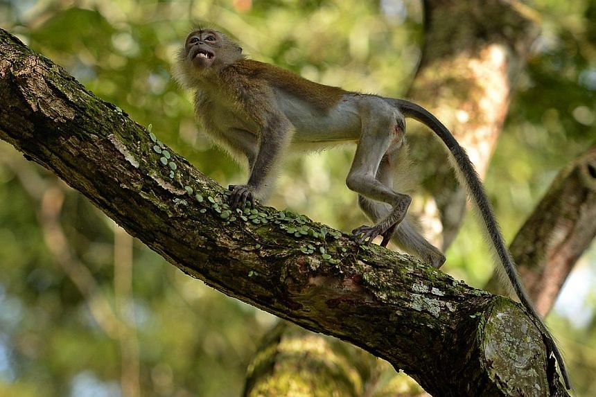 A long-tailed macaque is seen in a tree after its release atMacritchie reservoiron Tuesday, Oct 8, 2013. The Animal Concerns Research and Education Society (Acres) found the injured animal with a shattered pelvis at Macritchie reservoir i