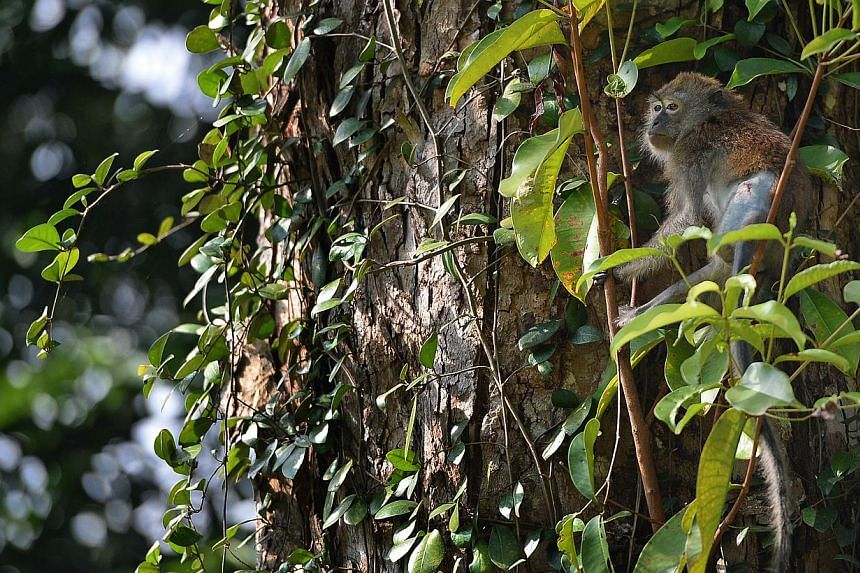 A long-tailed macaque is seen up high in a tree after its release at Macritchie reservoir on Tuesday, Oct 8, 2013. -- ST PHOTO: JOYCE FANG
