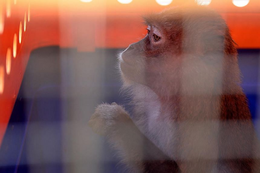 A long-tailed macaque is seen in a cage before its release into Macritchie reservoir on Tuesday, Oct 8, 2013. -- ST PHOTO: JOYCE FANG
